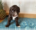 Puppy 9 Portuguese Water Dog