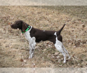 Father of the German Shorthaired Pointer puppies born on 03/21/2019