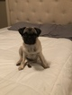 Pug Puppy For Sale in SAN ANTONIO, TX, USA