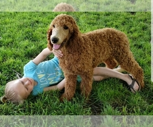 Poodle (Standard) Puppy for Sale in NAMPA, Idaho USA