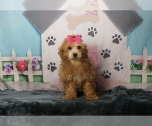 Poodle (Toy) Puppy for Sale in WARSAW, Indiana USA