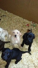 Labrador Retriever Puppy For Sale in MONTPELIER, OH, USA