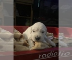 Small Photo #6 English Cream Golden Retriever Puppy For Sale in ARCHBALD, PA, USA
