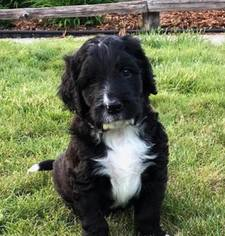 View Ad Bernedoodle Puppy For Sale Near Washington Morton