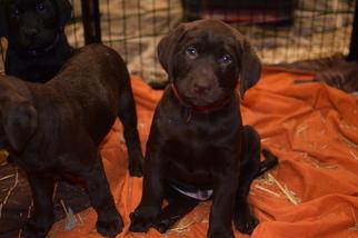 Labrador Retriever Puppy For Sale in MERRIAM, KS, USA