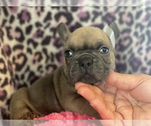 French Bulldog Dog for Adoption in HAMDEN, Connecticut USA