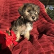 Havashire Puppy For Sale in HOUSTON, TX, USA