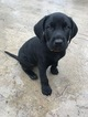 German Shorthaired Lab Puppy For Sale in FRIENDSWOOD, TX, USA