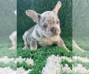 French Bulldog Puppy for sale in DAYTONA BEACH, FL, USA