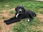 Great Dane Puppy For Sale in DUARTE, CA, USA