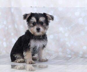Yo-Chon Puppy for sale in MARIETTA, GA, USA