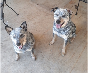 Australian Cattle Dog Dogs for adoption in MADILL, OK, USA