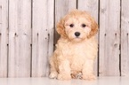 Poo-Ton Puppy For Sale in MOUNT VERNON, OH