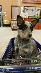 Australian Cattle Dog Puppy For Sale in BUFFALO, NY, USA