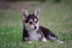 Pembroke Welsh Corgi Puppy For Sale in MAGNOLIA, TX, USA