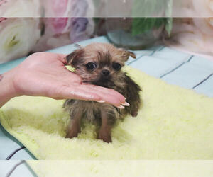 Griffonshire Puppy for Sale in LAS VEGAS, Nevada USA
