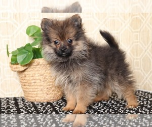 Pomeranian Puppy for sale in EL CAJON, CA, USA