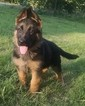 German Shepherd Dog Puppy For Sale in CASTLE ROCK, WA
