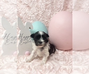 Maltipoo Puppy for sale in ROCKY MOUNT, NC, USA