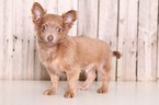 Chihuahua Puppy For Sale in MOUNT VERNON, OH, USA