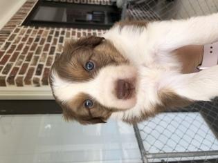 Aussie Puppies For Sale Eustace Tx
