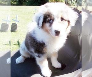 Australian Shepherd Puppy for Sale in GLADE HILL, Virginia USA