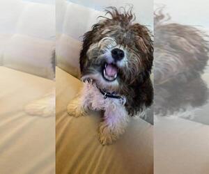 Maltese Puppy for sale in RICHMOND, VA, USA