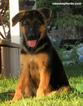 German Shepherd Dog Puppy For Sale in DRAPER, UT