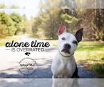 Small #156 American Pit Bull Terrier Mix
