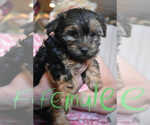 Morkie-Yorkshire Terrier Mix Dog for Adoption in EDISON, New Jersey USA