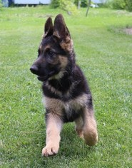 German Shepherd Dog Puppy For Sale in EVANS, WA, USA