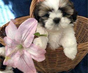 Shih Tzu Puppy for sale in REDINGTN SHOR, FL, USA