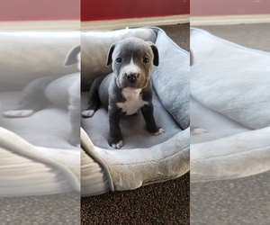 American Pit Bull Terrier Puppy for sale in ZILLAH, WA, USA