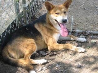 Grant - German Shepherd Dog Dog For Adoption