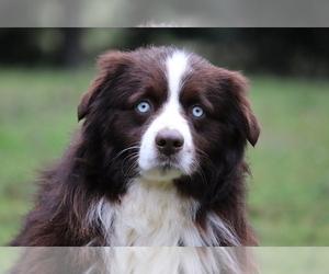 Father of the Miniature Australian Shepherd puppies born on 01/25/2020