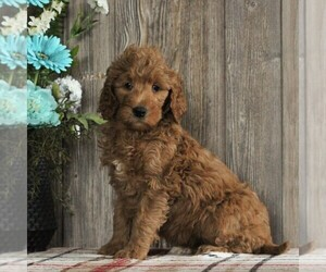 Goldendoodle-Poodle (Standard) Mix Puppy for sale in HONEY BROOK, PA, USA