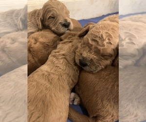 Goldendoodle Puppy for sale in APOLLO BEACH, FL, USA