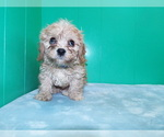 Puppy 3 Cavalier King Charles Spaniel-Poodle (Standard) Mix
