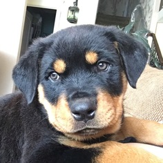 View Ad Rottweiler Puppy For Sale Idaho Nampa Usa