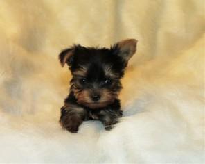 Yorkshire Terrier Puppies and Dogs for Sale in USA