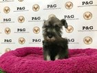Schnauzer (Miniature) Puppy For Sale in TEMPLE CITY, CA, USA