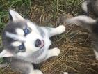 Siberian Husky Puppy For Sale in TARKIO, MO, USA