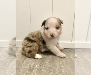 Australian Shepherd Puppy for sale in LODA, IL, USA