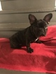 French Bulldog Puppy For Sale in WATERBURY, CT, USA