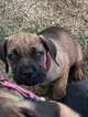 Cane Corso Puppy For Sale in WHITE HOUSE, Tennessee,