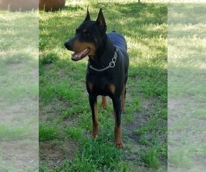 Father of the Doberman Pinscher puppies born on 06/17/2020