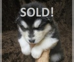 Wolf Hybrid Puppies available now