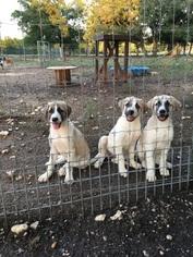 Anatolian Shepherd Puppy For Sale in AUSTIN, TX, USA