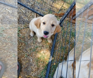 Golden Retriever Puppy for Sale in YUCAIPA, California USA
