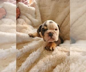 English Bulldog Puppy for Sale in ALBUQUERQUE, New Mexico USA